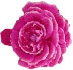 Boing Heaven Rose