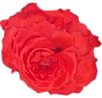 Red Heaven Rose